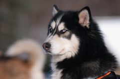 Siberian husky with blue eyes Royalty Free Stock Images
