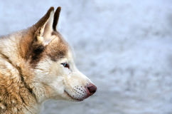Siberian husky with blue eyes. Close up Royalty Free Stock Photo