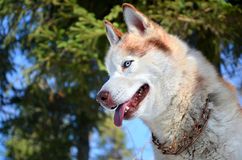 Siberian husky with blue eyes Stock Image