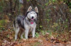 Siberian Husky with blue eyes Stock Photos