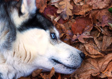 Siberian Husky with blue eyes portret. Background royalty free stock images