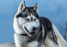 Siberian Husky with blue eyes portret. In forest royalty free stock images