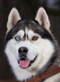 Siberian Husky with blue eyes portret. In forest Royalty Free Stock Image