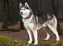 Siberian Husky with blue eyes portret. In forest Royalty Free Stock Photo