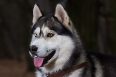 Siberian Husky with blue eyes portret. In forest royalty free stock photos