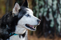 Siberian Husky with Blue Eyes Royalty Free Stock Photography