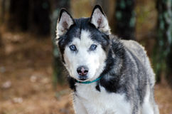 Siberian Husky with Blue Eyes Stock Images