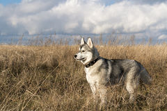 Siberian Husky breed dog Stock Photos