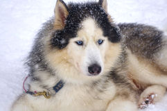 Siberian Husky breed sled dogs. Are not afraid of the frost Royalty Free Stock Photography