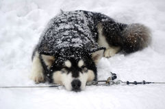 Siberian Husky breed sled dogs. Are not afraid of the frost Stock Image
