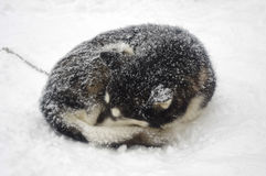 Siberian Husky breed sled dogs Royalty Free Stock Photography