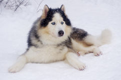 Siberian Husky breed sled dogs. Are not afraid of the frost Royalty Free Stock Photo