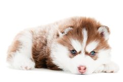 Siberian husky brown puppy isolated Royalty Free Stock Photos