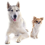 Siberian husky and chihuahua Stock Photo