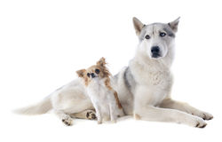 Siberian husky and chihuahua Stock Photos