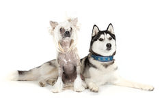 Siberian Husky and the Chinese Crested Dog Stock Photos