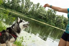 Siberian Husky in class with a dog handler on the background of the river stock photo