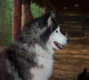 Siberian husky in the crate.  Royalty Free Stock Photos