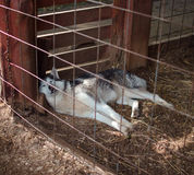 Siberian husky in the crate.  Stock Image
