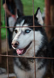 Siberian husky in the crate.  Royalty Free Stock Image