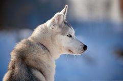 Siberian husky with cut ear Royalty Free Stock Images