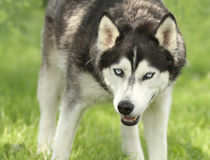 Siberian Husky with dangerous pose Stock Photography