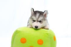 Siberian husky on dice pillow Royalty Free Stock Photos