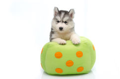 Siberian husky on dice pillow stock photo