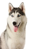 Siberian Husky dog. Siberian Husky in front of a white background Stock Photography