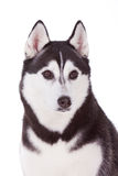 Siberian husky dog Stock Photos