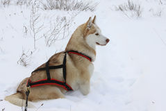 Siberian Husky dog Stock Photo
