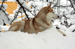 Siberian Husky dog Stock Image
