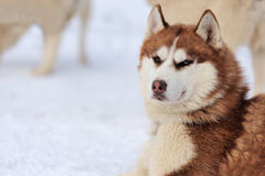 Siberian husky dog. Winter portrait Stock Image