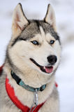 Siberian husky dog. Winter portrait Royalty Free Stock Photos