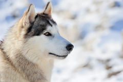 Siberian husky dog. Winter portrait Royalty Free Stock Image