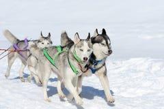 Siberian husky dog. Sled husky dog race in winter on snow Stock Image