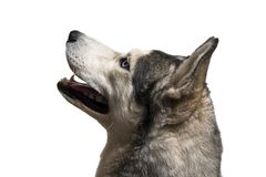 Siberian husky dog. Isolated on a white background stock images