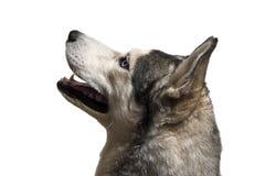Siberian husky dog Stock Images
