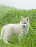 Siberian husky dog. The dog in the hassock Stock Images