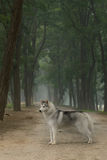 Siberian husky dog. The dog  to stand in the forest Stock Photography