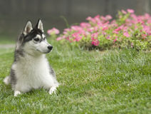Siberian husky dog. And Flowers Stock Photography