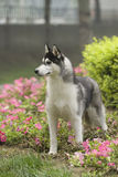 Siberian husky dog. And Flowers Stock Images