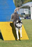 Siberian Husky at Dog Agility Trial stock image