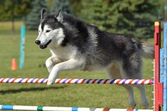 Siberian Husky at a Dog Agility Trial Royalty Free Stock Photography