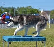 Siberian Husky at Dog Agility Trial Stock Photography