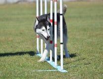 Siberian Husky at Dog Agility Trial Royalty Free Stock Photos