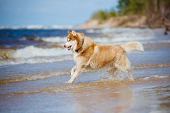 Siberian husky dog on the beach Stock Photos