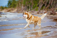 Siberian husky dog on the beach Royalty Free Stock Images