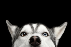 Siberian Husky Dog on  Black Background Stock Image