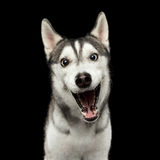 Siberian Husky Dog on  Black Background. Portrait of Amazement Siberian Husky Dog opened mouth surprised on  Black Background, front view Stock Image